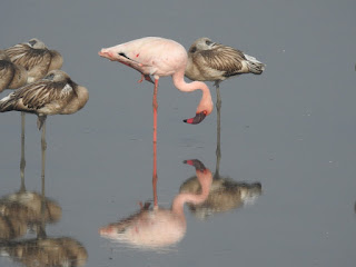 Flamingo Bird – Best Places to see in India | Flamingo Migration Route