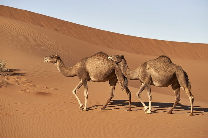 The World's First Traffic Light Signal For Camels? | How Much Water Does A Camel's Hump Hold?