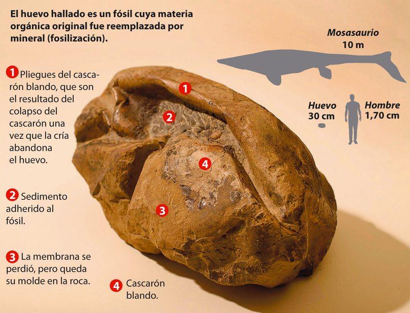 Este huevo tiene 66 millones de años y estaba guardado en Santiago