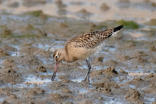 Juvenile Bar-tailed Godwit at Ferrybridge © Will Bown.