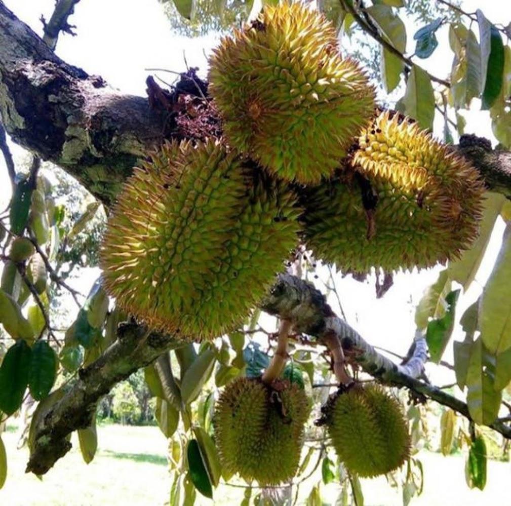 Bibit pohon buah durian lai lay durian Kalimantan tinggi 40 60 cm okulasi Aceh