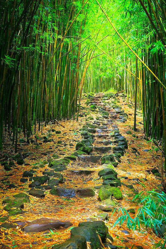 Sizzling Tourist Hotspots in Hawaii | Bamboo forest along the Pipiwai trail to Waimoku Fall in the Kipahulu area of Haleakala National Park