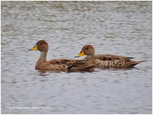 Los distintos tipos de patos pueden identificarse por el plumaje y el color del pico - Chacra Educativa Santa Lucía