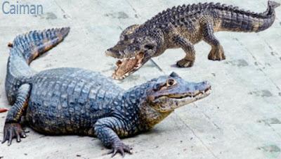caiman reptile