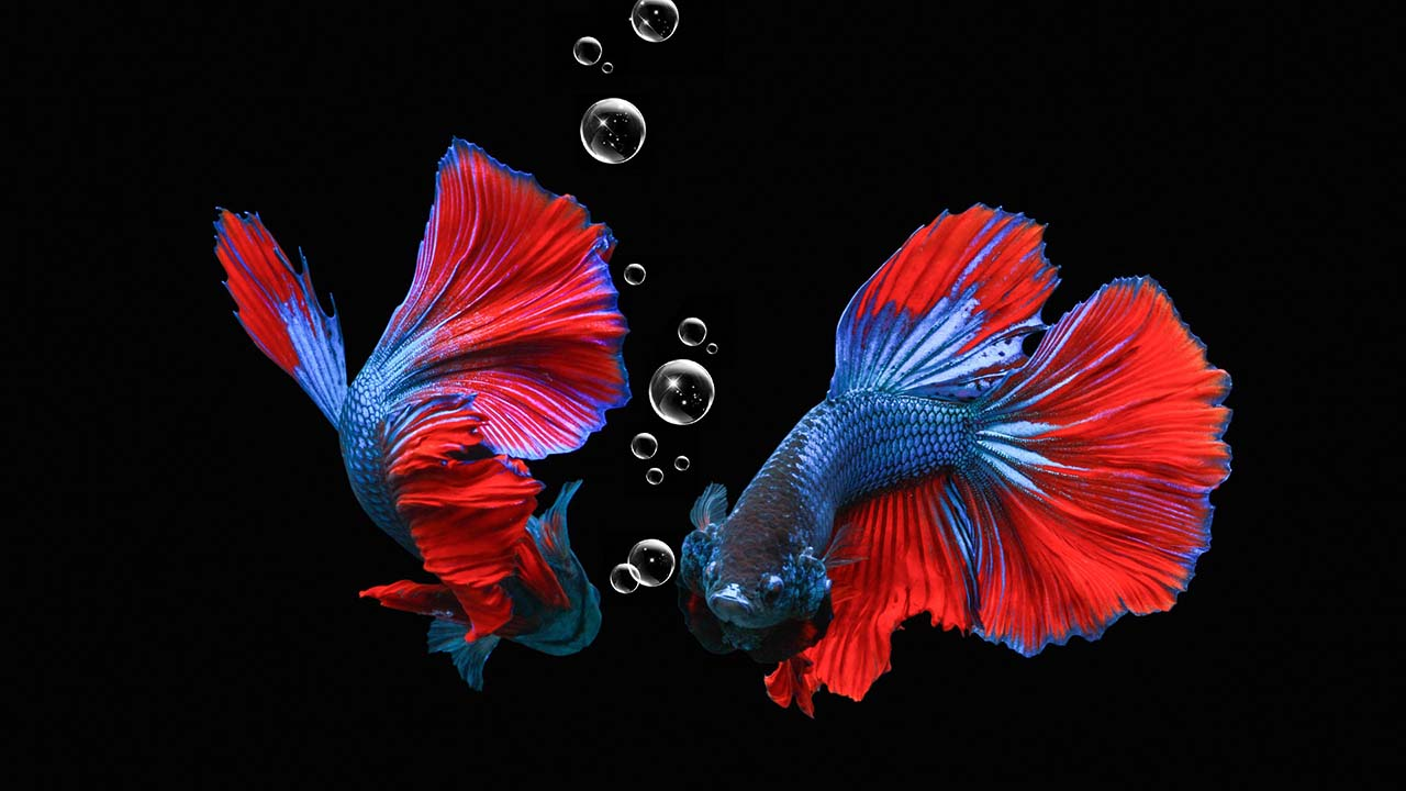 Tips Budidaya Ikan Cupang di Rumah untuk Pemula