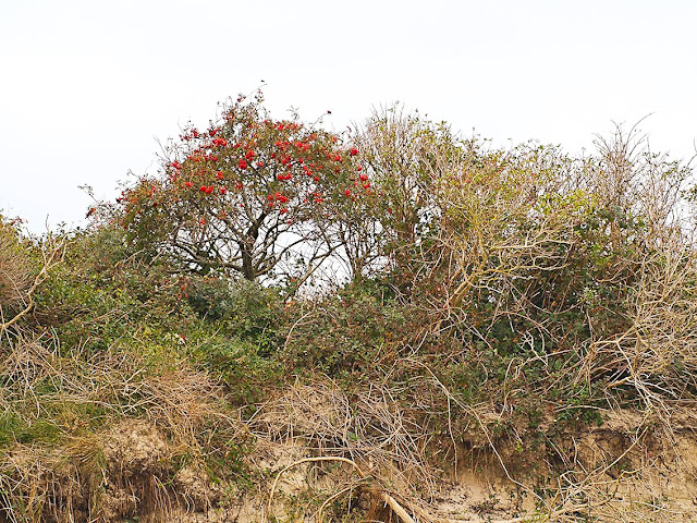 Ältere Vegetation auf einer Düne. Das Meer nagt aber schon am Dünenfuß