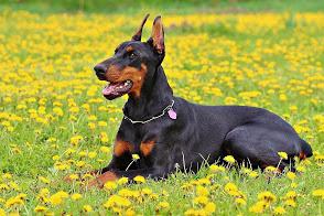 أقوي كلاب حراسة في العالم بالصور