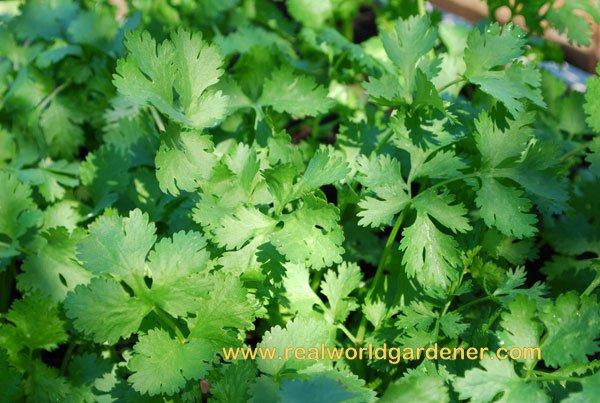 1-coriander%2Bleaf.jpg