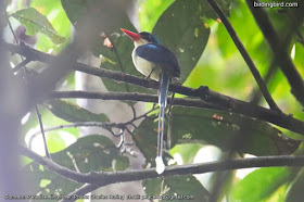 Common Paradise Kingfisher (Tanysiptera galatea)