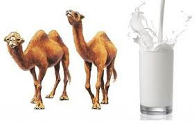 camel milk(otni ka doodh) health benefits in urdu