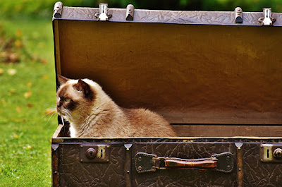 A brown and cream cat is sitting in a brown suitcase