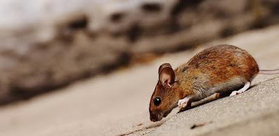 5 Tips Mengusir Tikus di Rumah