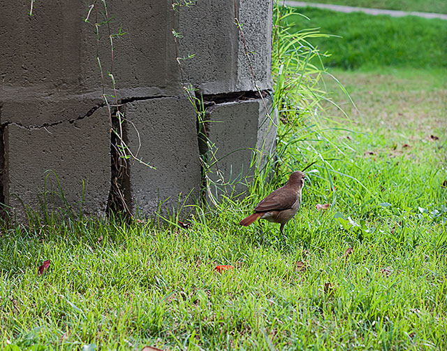 Un gorrión sobre el césped detrás de el un muro.