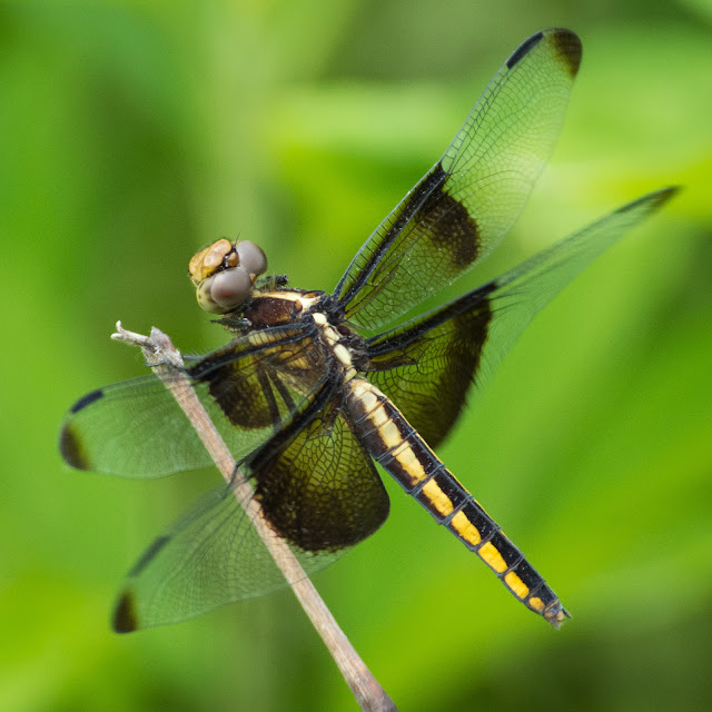 Widow Skimmer, Clear Creek Natural Heritage Center