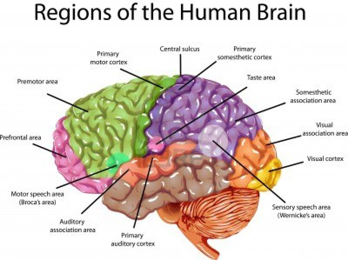 Human Brain Diagram Cerebrum Central Heating Wiring 3 Way Valve Functions