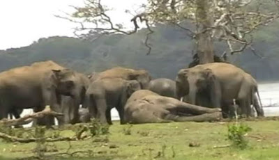 Penghormatan kawanan gajah untuk pemimpin mereka yang terbunuh