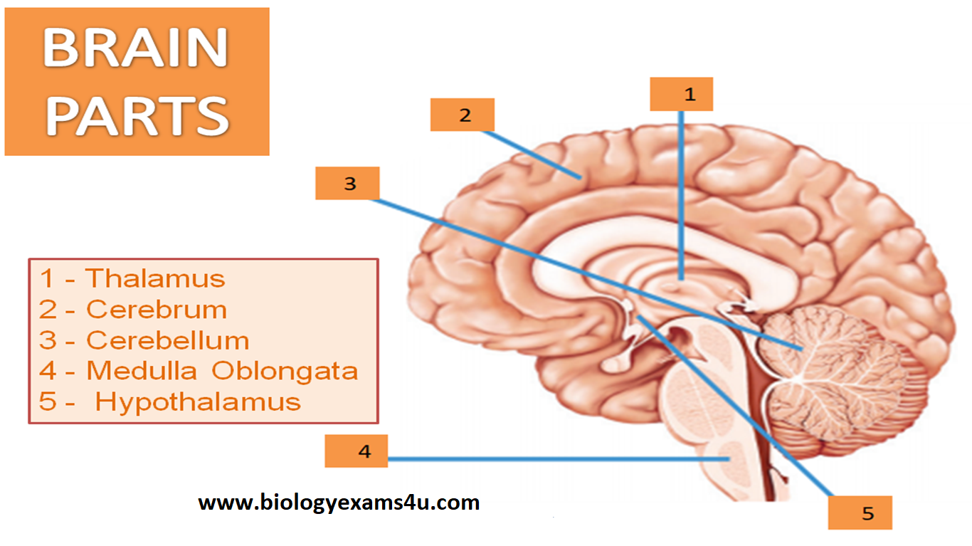 Brain parts labelled