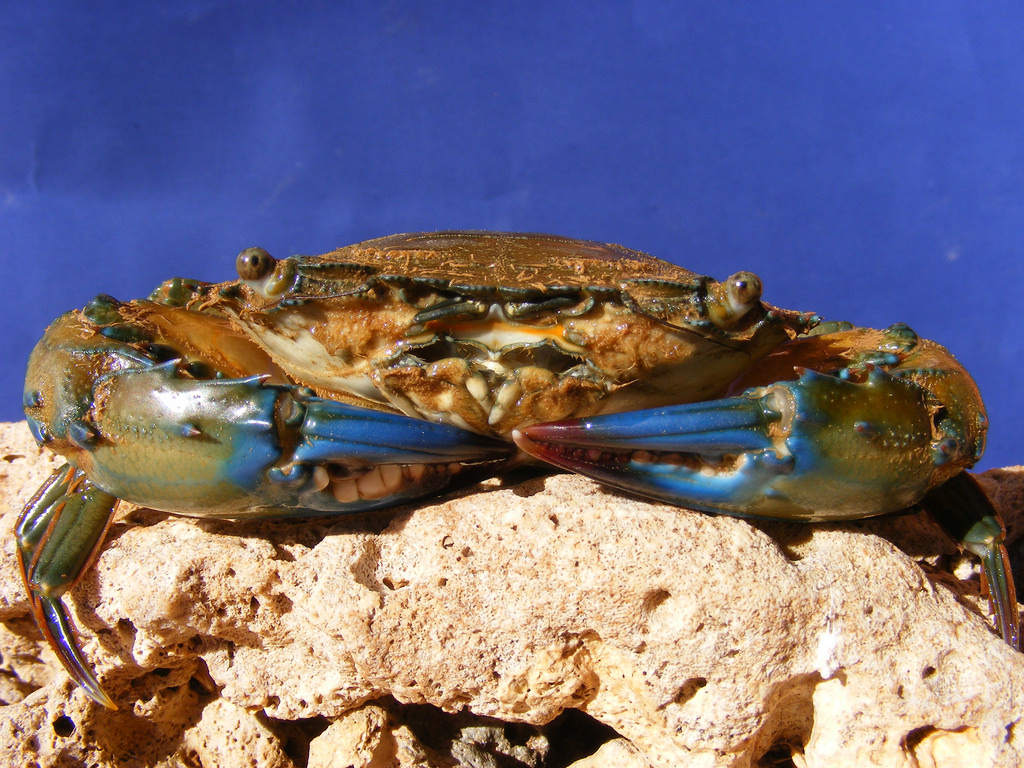 Mud Crab Supplier in Indonesia with Steady and High Quality Product
