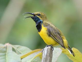 4 Cara Dan Tips Memikat Burung Sogok Ontong Paling Ampuh Yang Sudah Terbukti