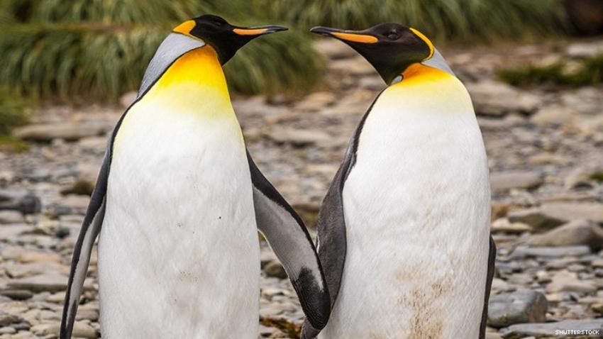 Gay Penguin