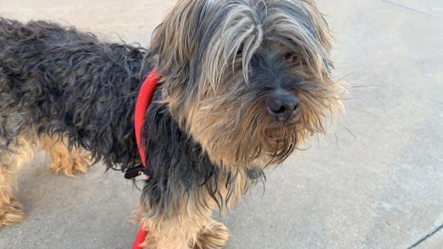 adoptar yorkshire terrier yorki