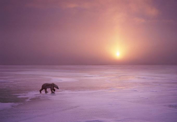 Steve Bloom - Wildlife Photography Polar Bear