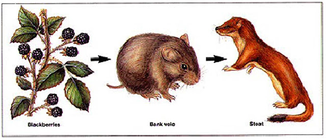 Food Chain - Blackberries - Bank vole - Stoat