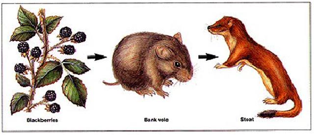 Food Chain - Blackberries - Bank vole - Stoat
