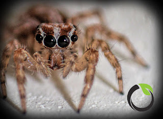 Mengenal laba-laba (Phidippus sp) sebagai musuh alami