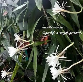 Epiphyllum Plant