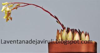 echeveria-agavoides-x-echeveria-colorata