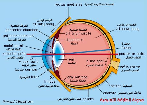 تركيب وتكوين العين , مكونات العين البشرية