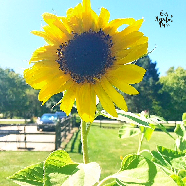 large yellow sunflower garden flower