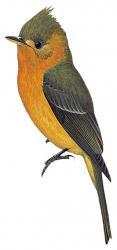 Mitrephanes phaeocercus