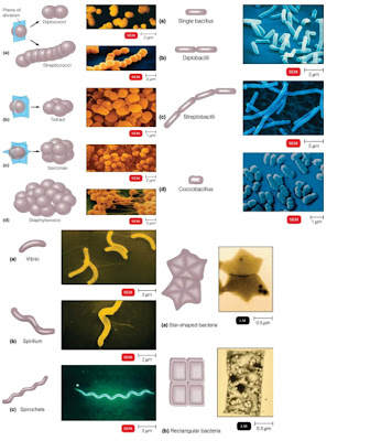 Penyakit Ikan Golongan Bakteri : Klasifikasi Bakteri