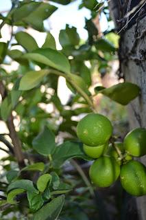 Limón caipirinha. Árboles frutales cítricos. Citrus.