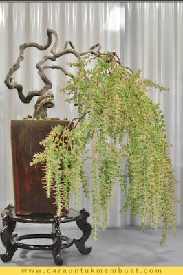 Bonsai Acacia Pravissima