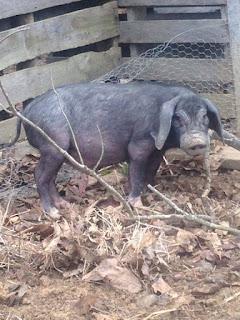 Heritage Pig Breed Meishan