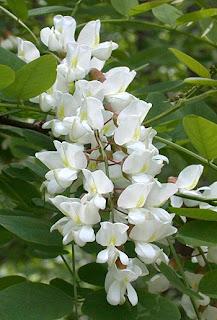 Robinia pseudoacacia y su relacion con la fauna