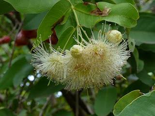 Jamalac - Jambose - Pomme de Java - Syzygium samarangense