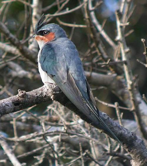 Indian bird - Crested treeswift - Hemiprocne coronata