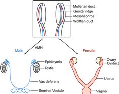 Vaginal Histology of  Female reproductive system Infographic Diagram