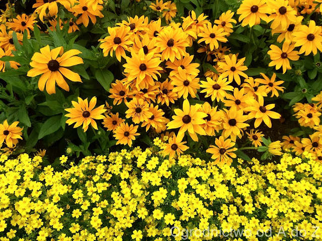 Tagetes and Rudbeckia
