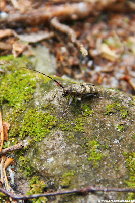 Monochamus galloprovincialis (Longicorne), Apremont, Fontainebleau, (C) août 2014 Greg CLOUZEAU