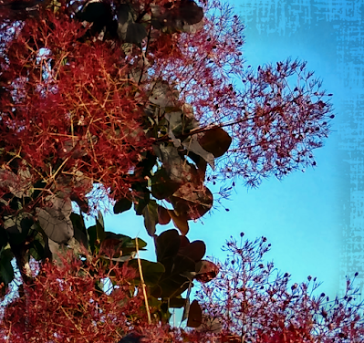 nmsu black smokebush