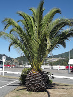 Pineapple palm tree, Picton - South Island, New Zealand