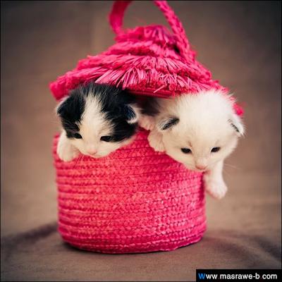 صور صور قطط كيوت 2020 خلفيات قطط جميلة جدا cats45.png