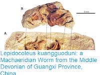 https://sciencythoughts.blogspot.com/2017/06/lepidocoleus-kuangguoduni-machaeridian.html