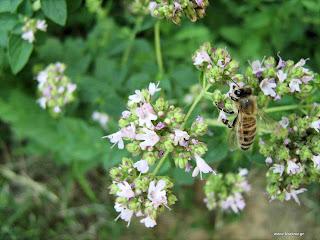 ΤΗ μέλισσα και η θεραπεία της αρθρίτιδας