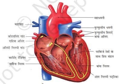 हृदय काम कैसे करता है? । How Human Heart Works